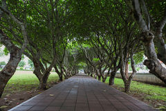 Green plumeria trees tunnel pathway. Plumeria trees tunnel over pathway Royalty Free Stock Photography