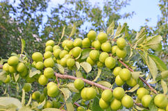 Green plums branch Stock Image
