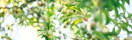 Green plums in a garden selected focus. A bland green plum in the garden. A vine of unripe fruit near a country house. The young fruits of a large sweet plum stock photo