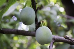 Green plums grow Royalty Free Stock Photography