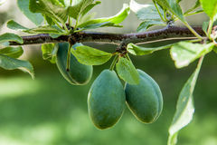 Green plums hanging from a branch Royalty Free Stock Images