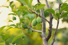 Green plums. Green plum growing on tree stock images