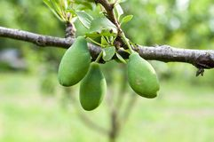Green plums Royalty Free Stock Image