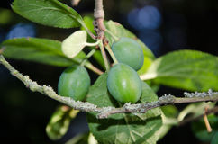 Green plums Stock Images