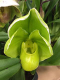Green pocket Orchids background Royalty Free Stock Image