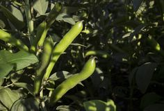 Green pod plants - beans, white broad beans flowers in the garden stock image