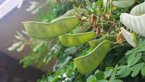 Green pods. Green plant pods Stock Photo