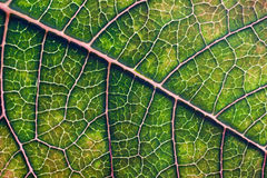Green Poinsettia leaf Stock Photos