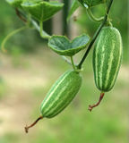Green pointed gourd Stock Image