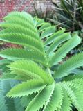 Green pointed leaves. Pattens in nature natural zigzags zigzagging leaf edge pointed edges leaves sharp green like nettle British park gardens foliage shrubs stock photo