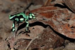 Green poison dart frog in Costa Rica Royalty Free Stock Photos