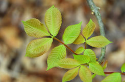 Green poison ivy Leaves Stock Photo