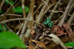 Green poisonous frog royalty free stock photos