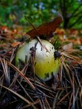 Green poisonous mushroom toadstool in dry needles. In the forest stock image