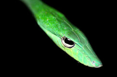 Green Poisonous snake Royalty Free Stock Image