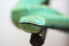 Green poisonous snake Royalty Free Stock Photography