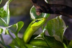 Green poisonous snake. royalty free stock photo