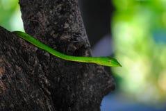 Green poisonous snake Stock Photos