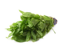 Green polygonaceae sorrel spinach dock leaves Stock Images