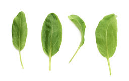 Green polygonaceae sorrel spinach dock leaves Royalty Free Stock Photography