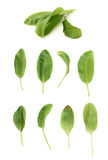 Green polygonaceae sorrel spinach dock leaves Royalty Free Stock Images