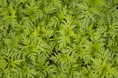 Green Polyscias leaf Stock Photo