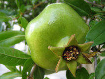 Green pomegranate. On the tree Royalty Free Stock Photo