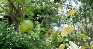 Green Pomegranate on the Branch stock footage