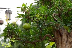 Green pomegranate fruit on a pomegranate bonsai tree stock image