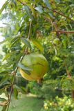 Green Pomegranate. Hanging on the tree Stock Photo