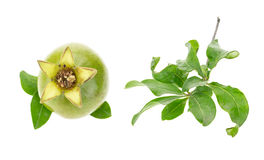 Green pomegranate and its leaves Stock Image