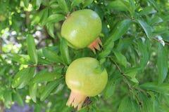 Green pomegranates Royalty Free Stock Photo