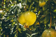 Green pomegranates on the tree. Closeup view of unripe pomegranates hanging on the tree. Punica granatum. Pomegranate fruit on the tree branch Royalty Free Stock Photo