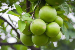 Green Pomelo fruit  on a tree Stock Photography