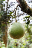 Green pomelo Stock Photos