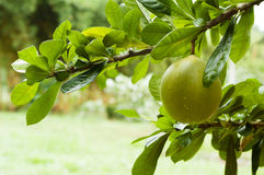 Green pomelo on tree branch.  Royalty Free Stock Images