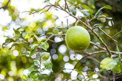 Green pomelo on tree Stock Images