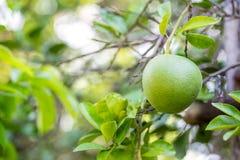 Green pomelo on tree Stock Photos