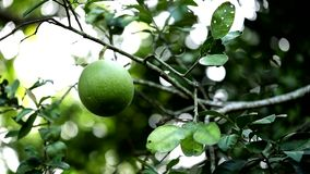 Green pomelo on the trees stock video
