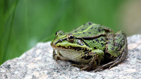 Green pond frog Royalty Free Stock Photos
