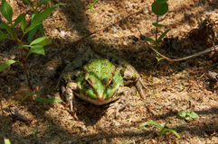 Green pond frog on the sand Stock Photography