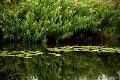 Green pond. With bulrush and reflections royalty free stock photo