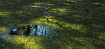 Green pond with reflection Royalty Free Stock Photography