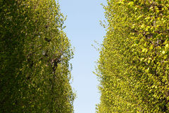 Green poplar alley Stock Photos
