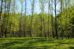 Green poplar forest. Royalty Free Stock Images