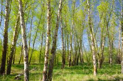 Green poplar forest. Royalty Free Stock Photo