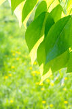 Green poplar leaves on defocused background Royalty Free Stock Photo
