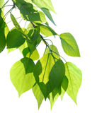 Green poplar leaves isolated Stock Photography