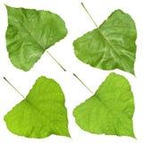 Green poplar leaves Royalty Free Stock Photography