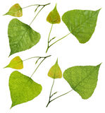 Green poplar leaves Stock Images
